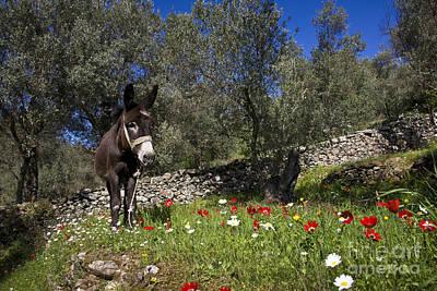 Olea Europaea Photograph - Donkey In Greece by Jean-Louis Klein & Marie-Luce Hubert