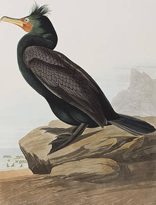 Edge Drawing - Double-crested Cormorant  by John James Audubon