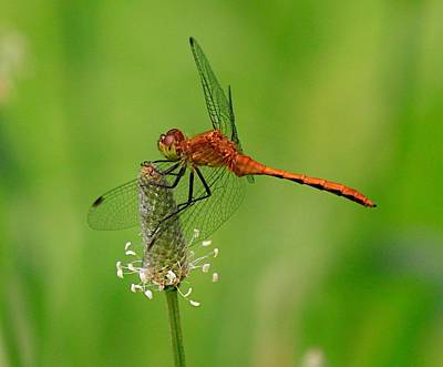 Blue Dragon Photograph - Dragon Fly by Robert Pearson