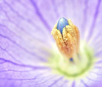 Balloon Flower Photograph - Dream by Mitch Cat