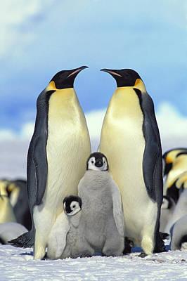 Penguin Photograph - Emperor Penguin Aptenodytes Forsteri by Konrad Wothe