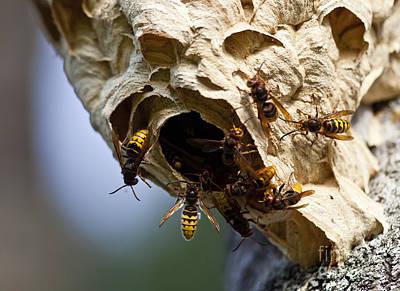 Hornets Nest Photograph - European Hornets by Per-Olov Eriksson
