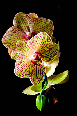 Exotic Orchid Bloom Print by Julie Palencia