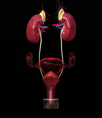 Female Urinary Tract Print by Roger Harris