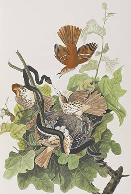 Snake Drawing - Ferruginous Thrush by John James Audubon