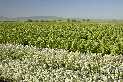 Field Of Organic Lettuce Print by Inga Spence
