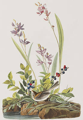 Berry Drawing - Field Sparrow by John James Audubon