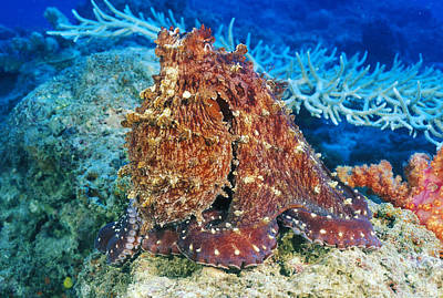 Fiji, Day Octopus Print by Dave Fleetham - Printscapes