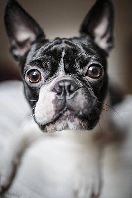 Boston Terrier Photograph - Fina by Nailia Schwarz