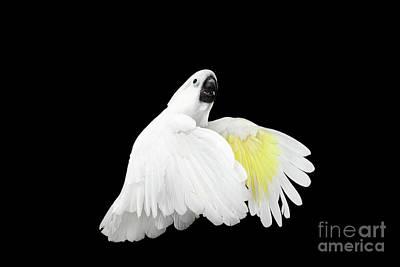 White Birds Photograph - Flying Crested Cockatoo Alba, Umbrella, Indonesia, Isolated On Black Background by Sergey Taran