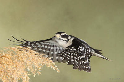 Woodpecker Photograph - Flying Under The Radar by Gerry Sibell