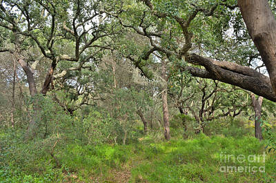 Woods Photograph - Forest Of Cork Oak Trees by Angelo DeVal