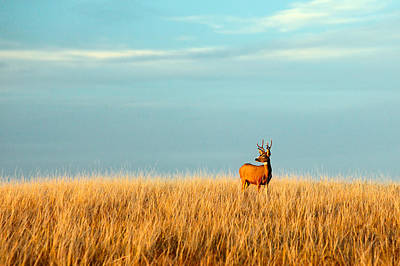 Looking Away From Camera Photograph - Fort Peck Buck by Todd Klassy
