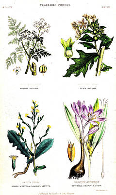 Lettuce Photograph - Four Poisonous Plants, Historical by Wellcome Images