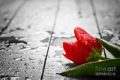 Break Photograph - Fresh Red Tulip Flower On Wood by Michal Bednarek