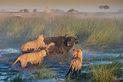 Lioness Photograph - Get Off My Back by Giulio Zanni
