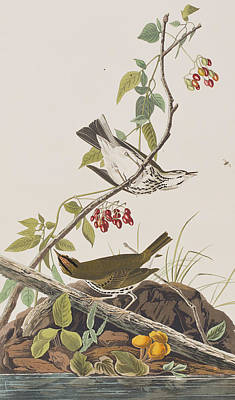 Berry Drawing - Golden Crowned Thrush by John James Audubon