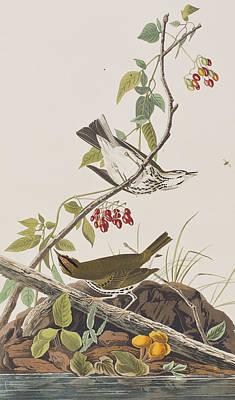 Botanical Art Drawing - Golden Crowned Thrush by John James Audubon