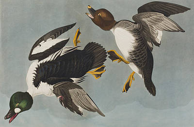 Two Ducks In Flight Painting - Golden-eye Duck  by John James Audubon