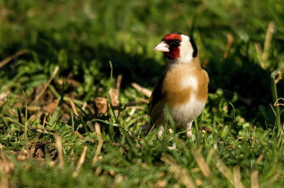 Birds Photograph - Goldfinch Spring by Cliff  Norton