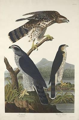 Goshawk And Stanley Hawk Print by John James Audubon