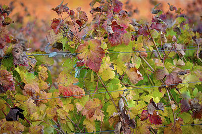 Wine Photograph - Grape Leaves by Brandon Bourdages