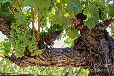 Vintage Wine Photograph - Grapes On Old Vine by Anthony Jones