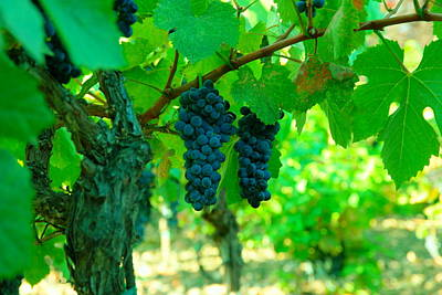 Fall Wine Grapes Photograph - The Beauty Of Grapes On The Vine by Jeff Swan