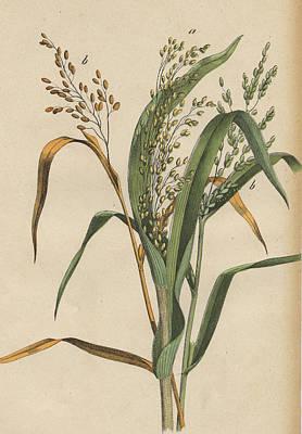 Grasses Print by German Botanical Artist