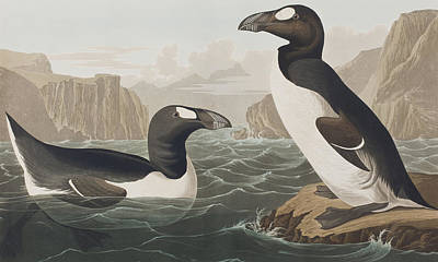 Great Drawing - Great Auk by John James Audubon