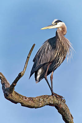 Majestic Photograph - The Great Blue Heron by Marcia Colelli