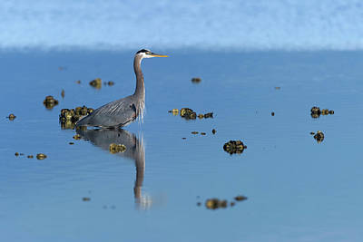Great Blue Heron Wading Reflection Print by Gary Langley