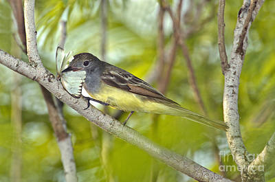 Great Crested Flycatcher Print by Anthony Mercieca