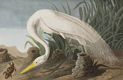Egret Drawing - Great Egret by John James Audubon
