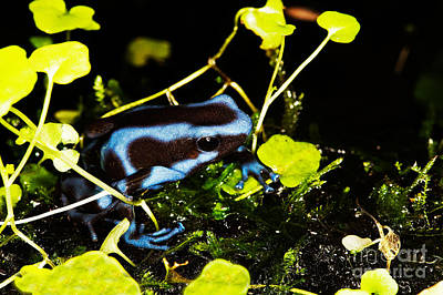 Green And Black Poison Dart Frog D Print by Gerard Lacz