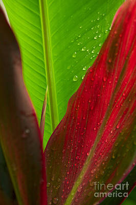 Green And Red Ti Plants Print by Dana Edmunds - Printscapes