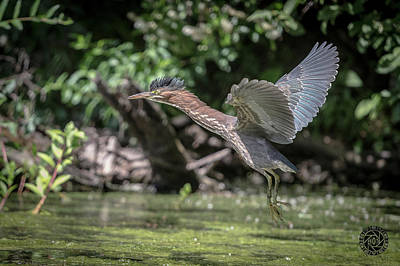 Green Heron Assabet River Massachusetts Print by Stephen Beyer