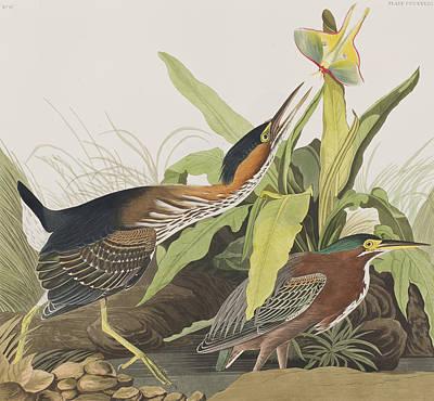 Heron Drawing - Green Heron by John James Audubon