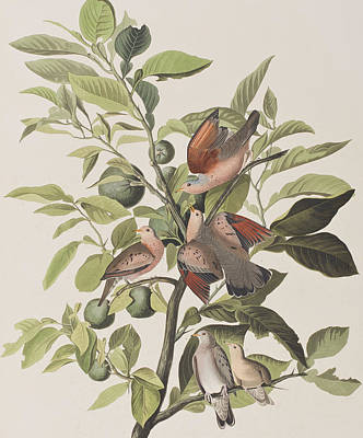 Lime Drawing - Ground Dove by John James Audubon