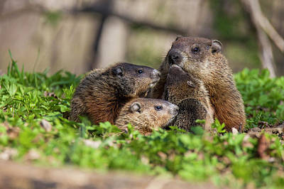 Groundhog Photograph - Happy Family by Mircea Costina Photography