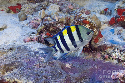 Hawaii, Marine Life Print by Dave Fleetham - Printscapes