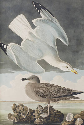 Birds In Flight Drawing - Herring Gull by John James Audubon