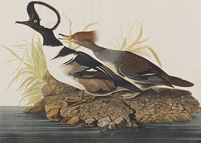 Nature Art Drawing - Hooded Merganser by John James Audubon