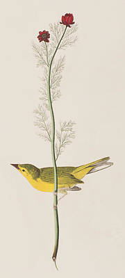 Hooded Warbler Print by John James Audubon