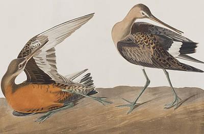 Taxonomy Painting - Hudsonian Godwit by John James Audubon