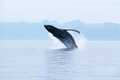 Humpback Whale Breaching Print by John Hyde - Printscapes