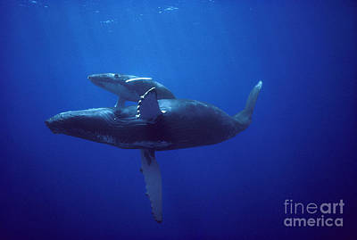 Flip Nicklin Photograph - Humpback Whale And Calf by Flip Nicklin