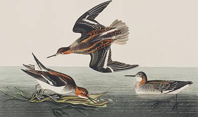 Hyperborean Phalarope Print by John James Audubon