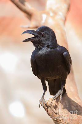 Gir Photograph - Indian Jungle Crow by B. G. Thomson
