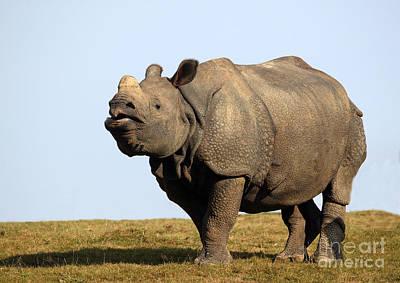 Indian Rhinoceros Rhinoceros Unicornis Print by Gerard Lacz